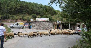 Pendik Adaklık Koyun